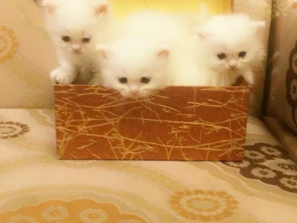 قطط شيرازي بصحة جيدة متدربين على البتر