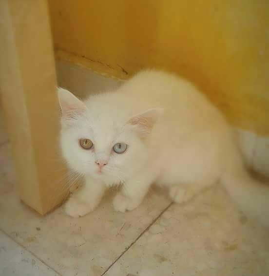 للبيع قطط صغيره وشيرازي عمر الشهر بسعر