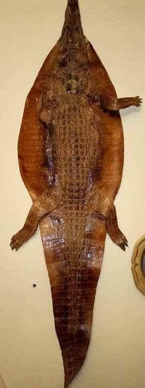 تمساح طبيعي اصلي طوله متر ونصف مدبوغ